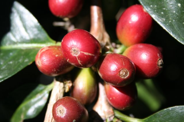 close up of ripe red coffee cherries